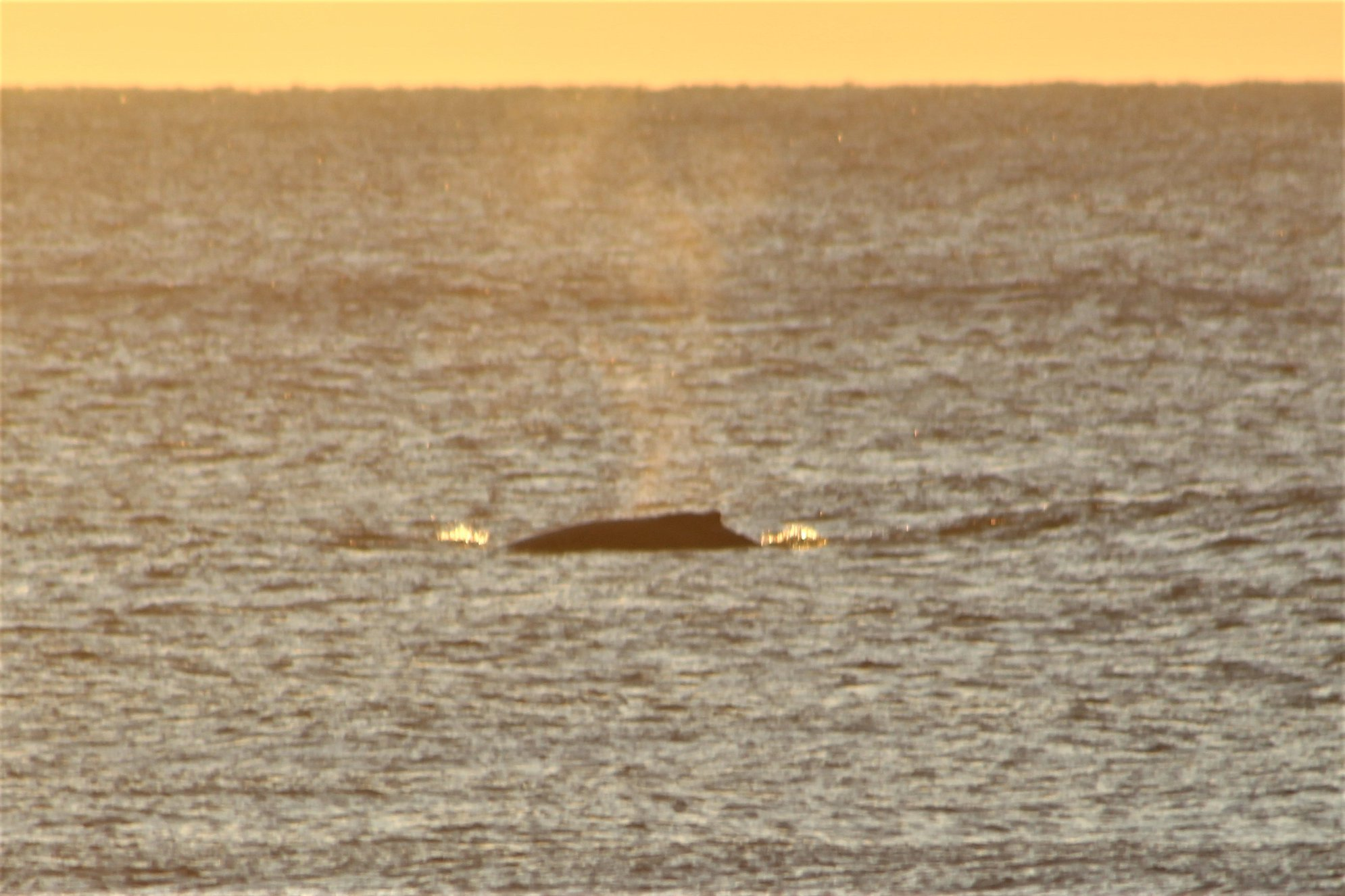 whales off of topsail island